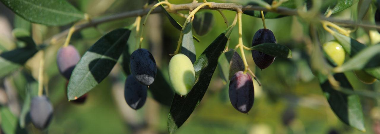 Olivenbaum Cilento